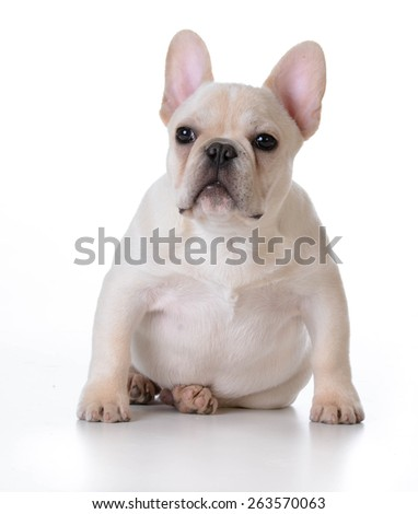 cute puppy - french bulldog puppy sitting on white background - stock photo