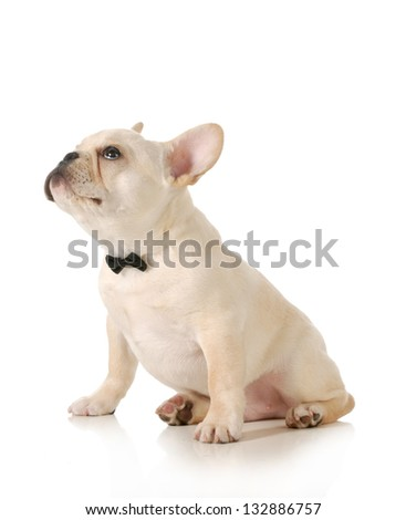 cute puppy - french bulldog puppy wearing black bowtie looking up sitting on white background - stock photo
