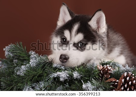 Cute puppy Husky with Christmas wreath in studio - stock photo