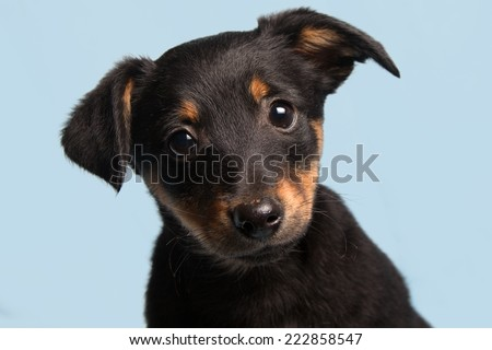 cute puppy, isolated on light blue background - stock photo