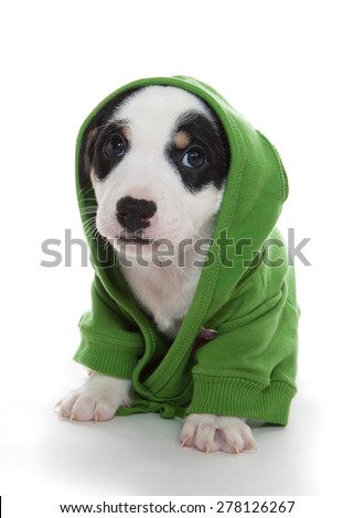 Cute puppy jack russell terrier in green hoodie in confusion - stock photo