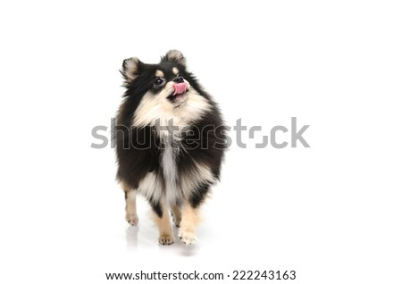 Cute puppy of pomeranian licking lips on white background isolated - stock photo