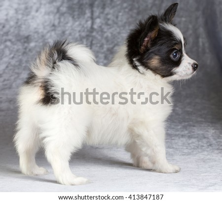 Cute puppy of the Continental Toy spaniel - Papillon - on a gray background - stock photo