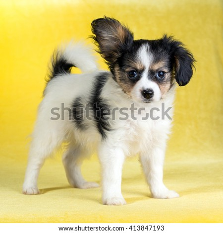 Cute puppy of the Continental Toy spaniel - Papillon - on a yellow background - stock photo