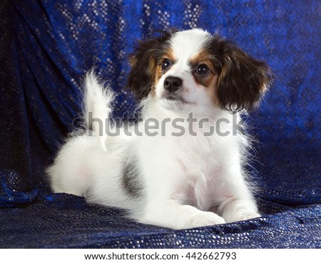 Cute puppy of the Continental Toy spaniel - Phalene - on a blue background - stock photo