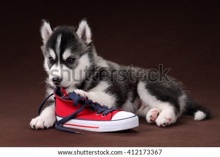 Cute Puppy Siberian husky with red sneakers - stock photo