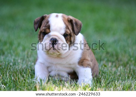 cute puppy sitting in the grass - english bulldog - stock photo