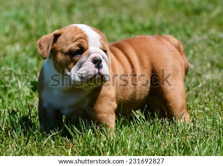 cute puppy standing in the grass - english bulldog - stock photo