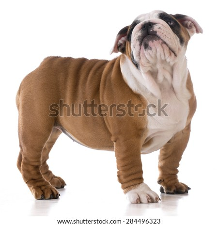 cute puppy standing looking up on white background - bulldog three months old - stock photo