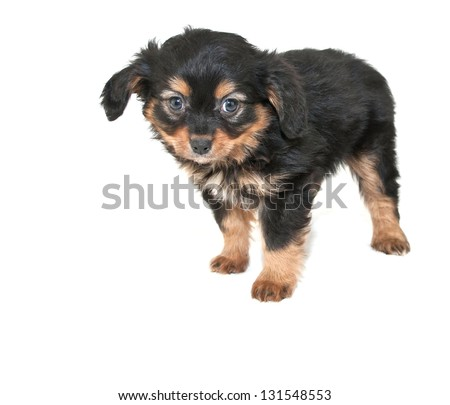 Cute puppy that looks like he got in trouble and is sorry, on a white background with copy space. - stock photo