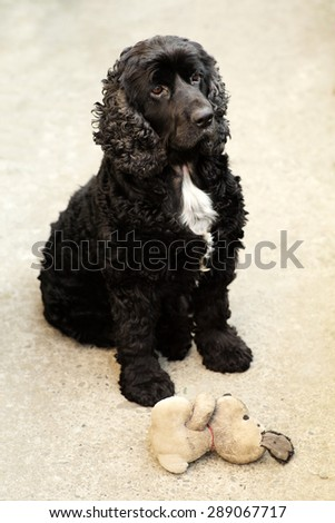 Cute pure bred black and white english cocker spaniel dog devotedly looking and sitting outdoor near soft toy of puppy, vertical picture - stock photo