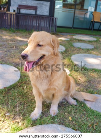 cute pure breed golden retriever sitting in dog park - stock photo