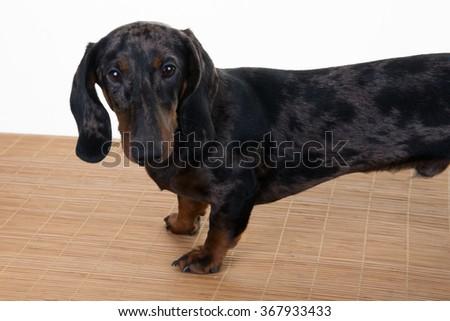Cute purebred miniature dachshund dog isolated on white - stock photo