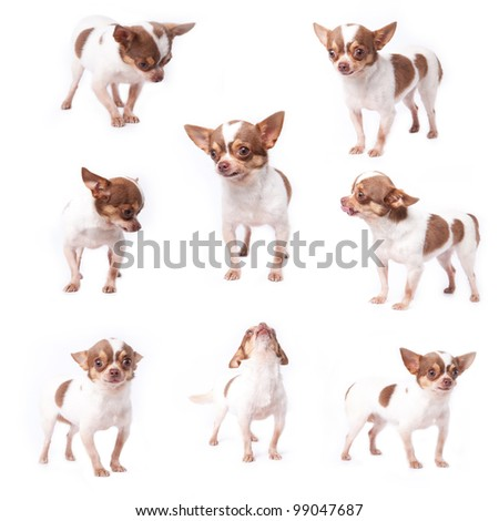 Cute purebred white and brown hair chihuahua  in many action - stock photo