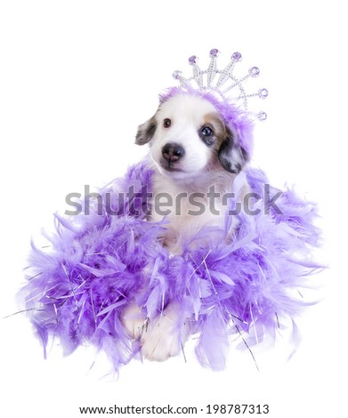 Cute purple princess miniature Australian Shepherd puppy wearing tiara on lavender feather boa isolated on white background - stock photo