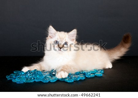 Cute Ragdoll kitten with blue glass pebbles on black background - stock photo