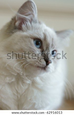 cute ragdoll 6 months old - stock photo
