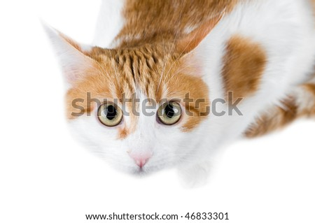 cute red and white cat isolated - stock photo