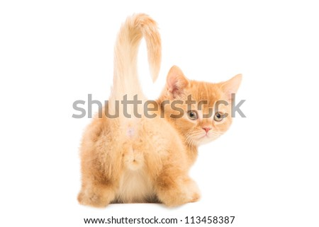 Cute red British kitten sitting on isolated white background - stock photo