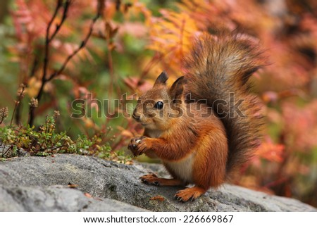 Cute red squirrel in autumn forest natural scenery - stock photo