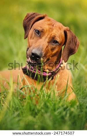 cute Rhodesian Ridgeback lying on green grass - stock photo