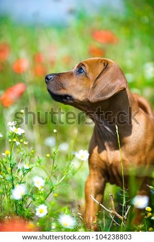 Cute rhodesian ridgeback puppy in a field - stock photo
