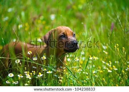 Cute rhodesian ridgeback puppy in a field - stock photo