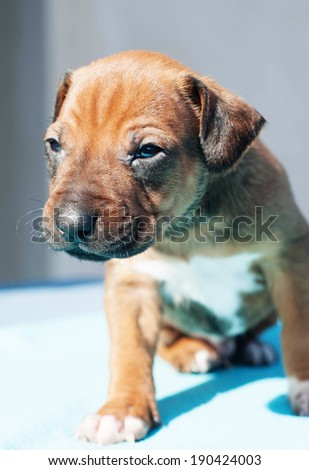 Cute Rhodesian Ridgeback puppy it sitting on a blue background. The little dog is six weeks of age. - stock photo