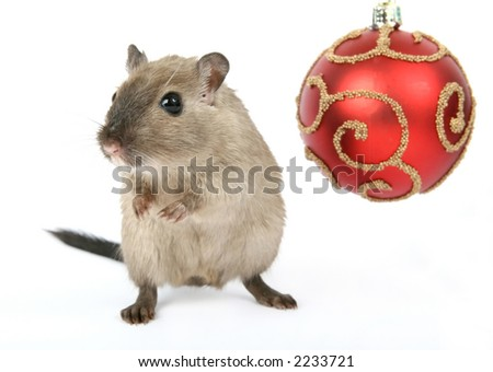 Cute rodent by Christmas decorations on snow white background, macro close up isolated on white - stock photo