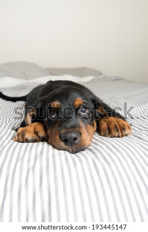 Cute Rottweiler Mix Puppy Sleeping on Striped White and Gray Sheets on Human Bed Looking Up - stock photo