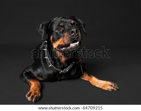 Cute rottweiler portrait - stock photo