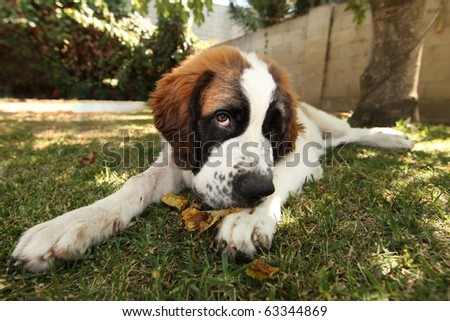 Cute Saint Bernard Puppy Lying in the Grass Outdoors - stock photo