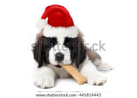 Cute Saint Bernard Puppy Wearing Santa Hat Chewing Bone - stock photo