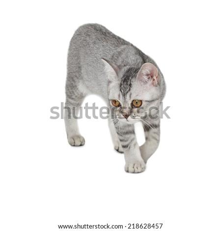Cute Scottish Straight kitten on white background  - stock photo