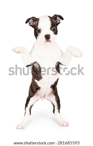Cute seven week old Boston Terrier puppy dog standing up on hind legs begging. Place your product in his paws. - stock photo