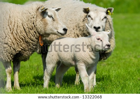 cute sheep family in spring - stock photo