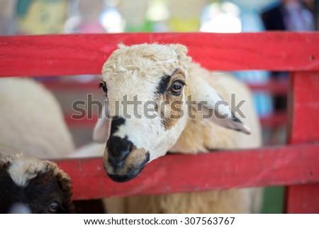 Cute sheep in farm - stock photo