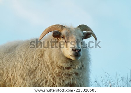 Cute sheep staring to the camera in Iceland - stock photo