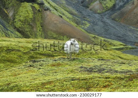 Cute sheep staring to the camera in Landmannalaugar, Iceland - stock photo