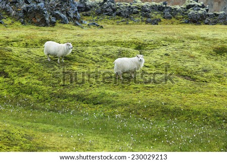 Cute sheeps staring to the camera in Landmannalaugar, Iceland - stock photo