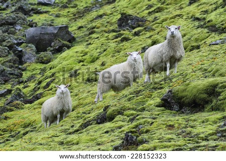 Cute sheeps staring to the camera near Landmannalaugar in Iceland - stock photo