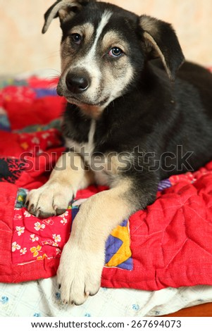 cute shepherd puppy on the bed with patch work quilt - stock photo
