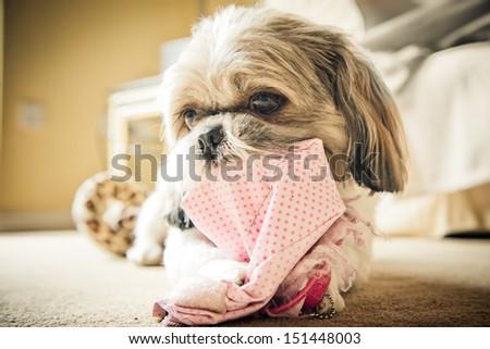 Cute Shih Tzu dog   - stock photo