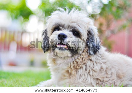 cute Shih tzu dog sitting in grass outdoors on a sunny day selective focus  - stock photo