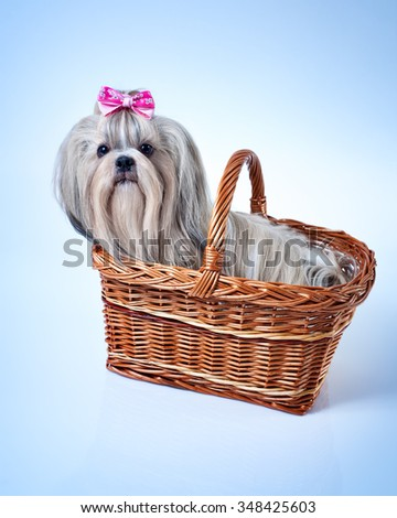 Cute shih tzu dog with pink bow sitting in basket. Soft blue background tint. - stock photo