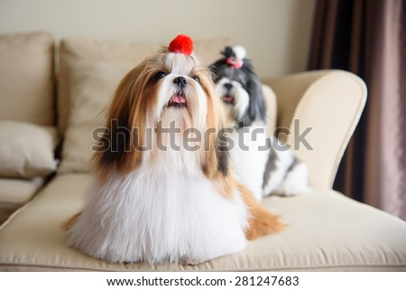 Cute shih tzu is sitting at the sofa - stock photo