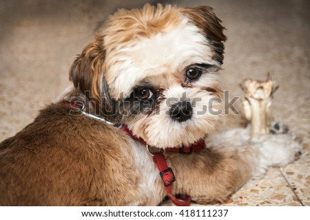Cute Shih-tzu puppy with  a bone  - stock photo