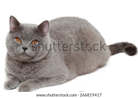 Cute short hair gray British cat - stock photo