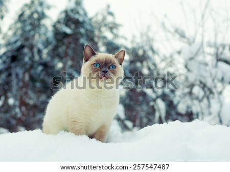 Cute siamese cat walking in the snowy forest - stock photo