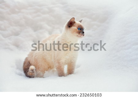 Cute siamese cat walking outdoor on the snow - stock photo